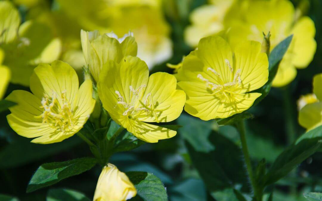 """Evening primrose oil: """"Don't use it if you are pregnant?"""""""
